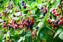 Ripe And Unripe Blackberries Growing On The Bush