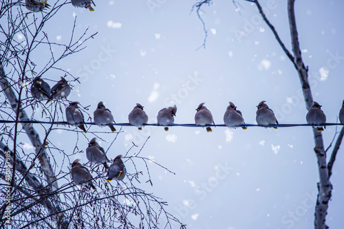 Obraz na plátně A herd of bullfinch birds sits on wires on the background of a snow-covered tree