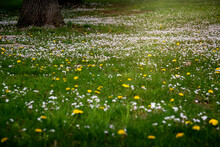 Daytime Landscape Of Spring Green Grass Meadow Alive With Tiny White And Yellow Wild Blooming Flowers With Tree Trunk On One Side