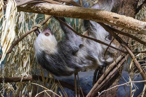 Fototapeta premium Two Toed Sloth
