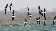 Multiple Black-necked Stilt Wading Flying In Qatar.