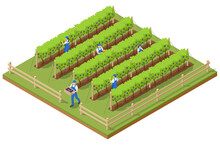 Isometric Grape Harvest, Farmers Harvesting Grapes. Vineyard In Fall Harvest With Ripe Grapes. Oganic Food And Fine Wine Handmade