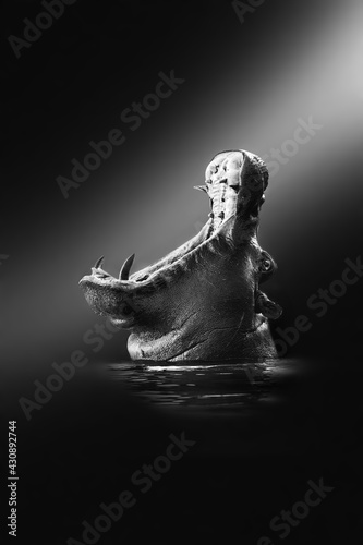 African wild hippo opening its mouth in aggression in Botswana, Africa Fototapet