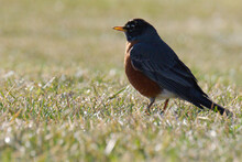 American Robin On The Grass