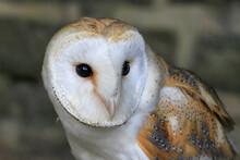 Close Up Of Face Of Barn Owl