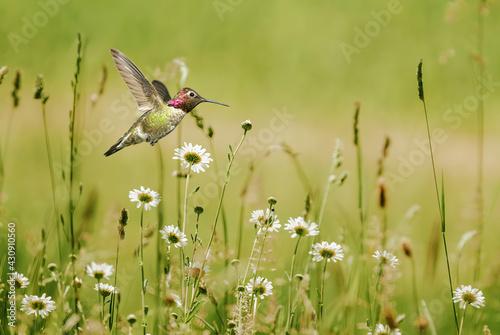 Fototapeta premium Close-up view of hummingbird in summer field