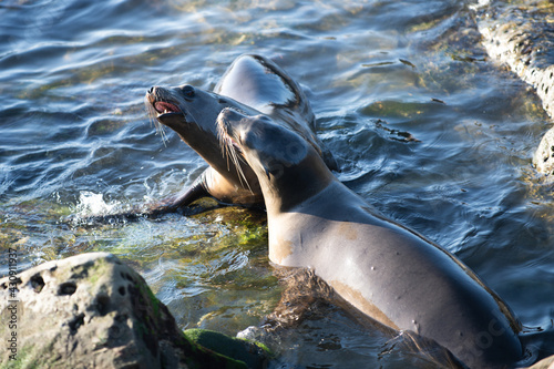 Fotografie, Obraz Sea lion, fur seal colony resting on the stone.