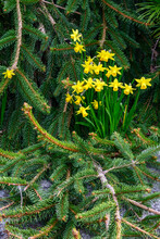 Bright Yellow Blooms Of Spring Daffodils Against The Dark Green Background Of An Evergreen Bush