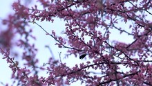 Bumblebee Buzzing And Gathering Nectar And Pollen From Redbud Tree.