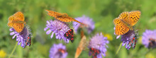 Beautiful Orange Butterfly And Little Red And Black Insects Gathering Pink Flowers In Panoramic View