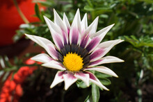 Beautiful White And Purple Gazania Or African Daisy With Yellow Center
