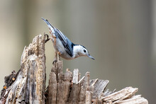 The White-breasted Nuthatch (Sitta Carolinensis)