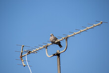 A Small Dove Perched On A Television Antenna Isolated Against Clear Blue Sky