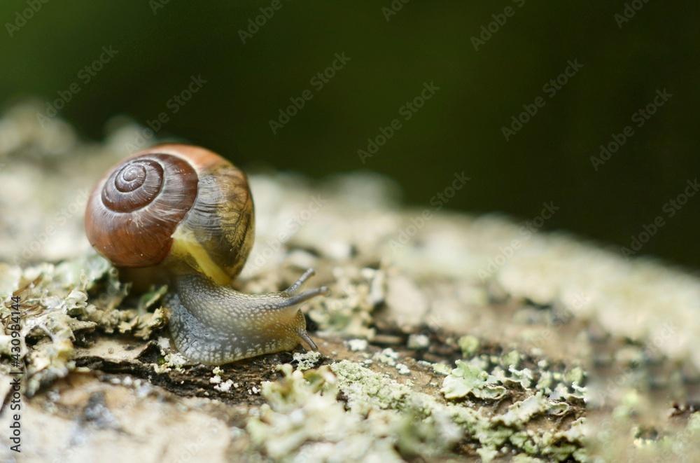 Fototapeta Closeup portret of  garden snail on a branch
