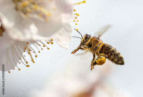 A bee collects honey from a flower - fototapety na wymiar