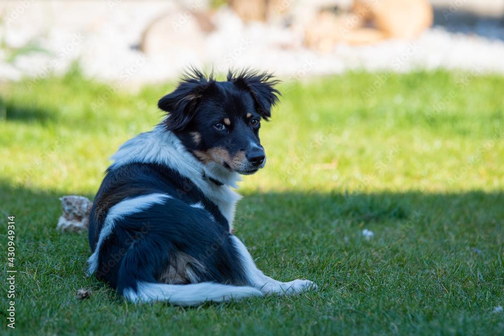 Fototapeta młody pies bawi się na trawie