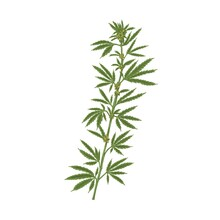 Marijuana Plant With Leaf. Realistic Hemp Or Cannabis Stem With Leaves. Colored Hand-drawn Vector Illustration Of Industrial Or Medical Marihuana Isolated On White Background