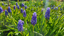 Grape Hyacinth, Decorative Muscari Flowers At Spring Time. Low Depth Of Focus Image.