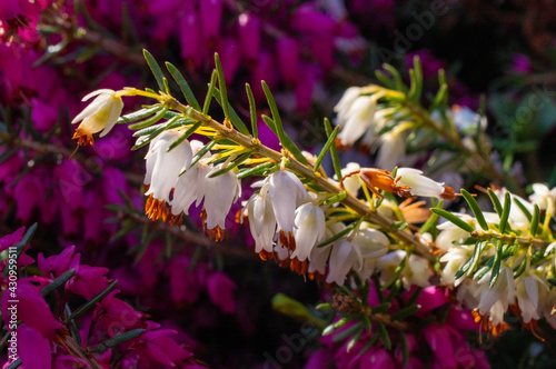 Obraz biały wrzosiec na tle fioletowego - fototapety do salonu