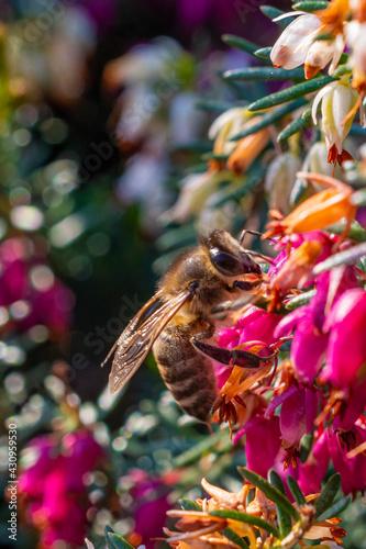pszczoła na kwiatach wrzośców - fototapety na wymiar