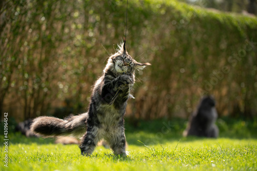 Fototapeta playing maine coon cat outdoors in garden rearing up standing on hind legs catch