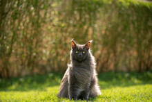 Gray Maine Coon Cat Portrait Sitting On Grass In Windy Backyard With Copy Space
