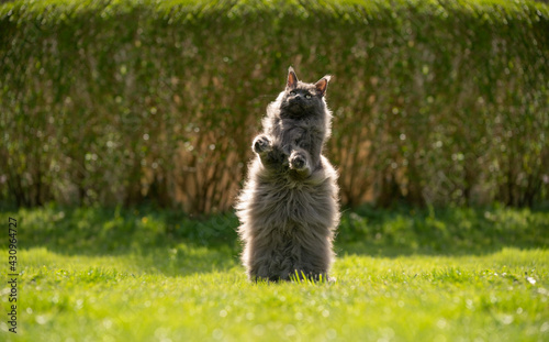 Fotografie, Tablou playful overweight gray maine coon cat rearing up standing on hind legs looking