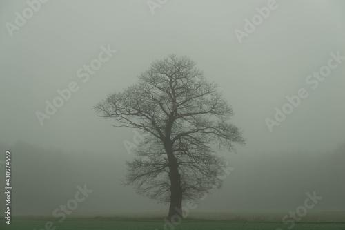 Samotny, bezlistny dąb w mglisty poranek. - fototapety na wymiar