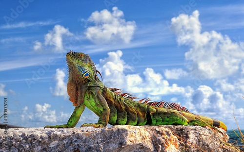 Obraz iguana on the rock - fototapety do salonu
