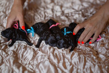 Black Newborn Poodle Puppies Lie On A Blanket. Small Crumbs With Bows On The Back