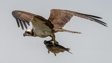 Osprey On The River