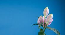 Magnifiques Fleurs De Lys Vendôme Sur Fond Bleu Avec Un Espace Sur La Gauche