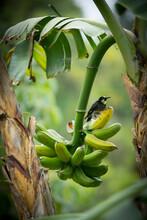 Bird On A Bunch Of Bananas