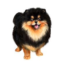 Watercolor Illustration Of A Black And Red Pomeranian