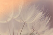 Abstract dandelion flower background. Seed macro closeup. Soft focus. Vintage style.