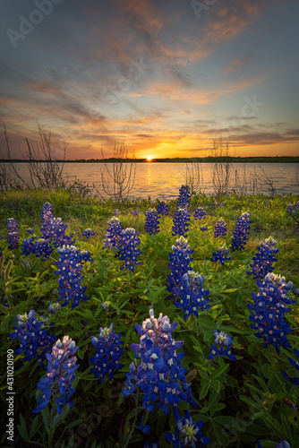 Stunning Sunset Over Bluebonnets and Lake Bardwell in North Texas #431020190