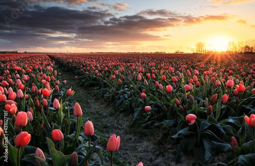 golden sunrise over red tulip field - fototapety na wymiar