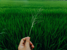 Hand Gently Holding Single Piece Of Grass Against Green Field