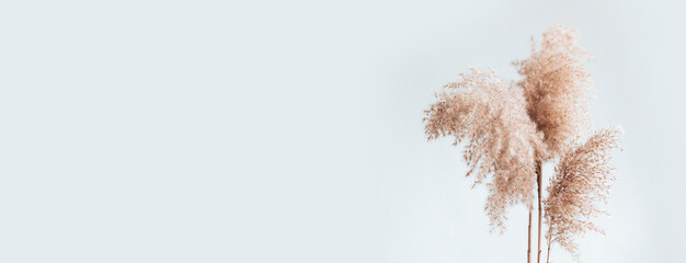 Pampas grass branches on white background, place text copy space. Modern dry flower decor. Banner size