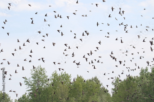 Fototapeta Colony of swallows in flight, Sand Martin breeding, flock of birds, riparia ripa
