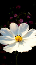 Large White Cosmea Flower Close-up