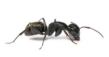 Camponotus Vagus,  Large, Black, West Palaearctic Carpenter Ant Isolated On White Background