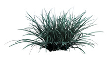 Front View Of Plant (Festuca Glauca Blue Fescue 1) Tree White Background 3D Rendering Ilustracion 3D
