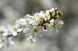 canvas print picture - Nahaufnahme von Blüten eines Sanddorn-Strauches in der Sonne - Close up of blossoms of a sea buckthorn bush in the sun