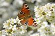 canvas print picture - Nahaufnahme von Blüten eines Sanddorn-Strauches mit einem Tagpfauenauge Schmetterling - Close up of blossoms of a sea buckthorn bush with a peacock butterfly