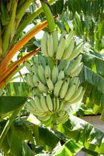 Bananas Growing Wild InHonduras