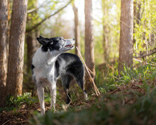 Border Collie In Forest Looking Towards The Sun, Woodlands, Black And White Dog In Woods, Sunny Day, Border Collie, Smooth Coat Border Collie, Trees, Border Collie Classic Markings