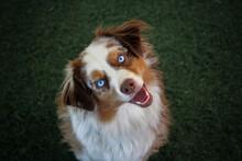 Mini Aussie With Stunning Blue Eyes, Red Merle Aussie, Red Merle Dog, Dog Blue Eyes, Pretty Dog, Mini Australian Shepherd, Miniature Australian Shepherd, Aussie Face, Australian Shepherd Up Close,