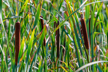 Close Up Of Typha Angustifolia Or Narrow-leaved Cattail