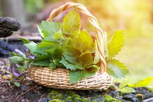 Lamium Album, White Nettle Or White Dead-nettle Do Not Sting Collected In Basket. Collecting Medicinal Herbs.